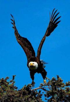 KenAbbett.Eagle(a)