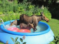 Momma Moose takes kids for a cooling dip in backyard pool in NH.