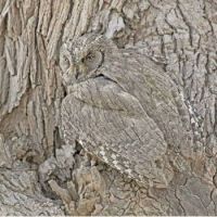 woodpeaking owl