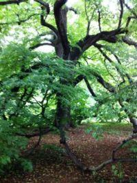 Majestic tree in Monticello