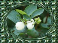 Plody pámelníku... Fruit of Symphoricarpos albus...