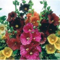 Hollyhocks....