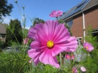 Cosmos or Cosmea enjoying the beautiful weather