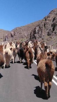 Walking with Llamas - Andes - Chile.