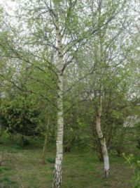 Can't resist silver birch trees!