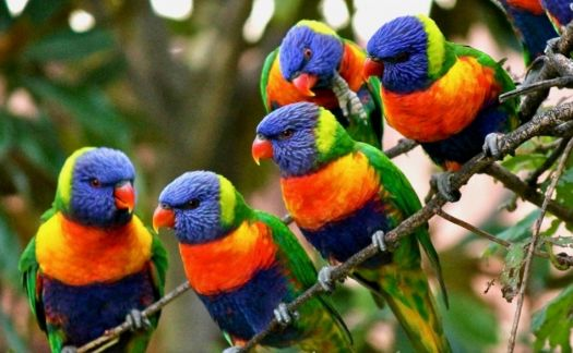 LORIKEETS GALORE