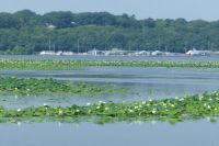Waterlilies on the Mississippi