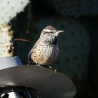 Cactus Wren, Green Valley, Arizona