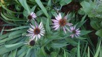 some of my coneflowers - prairie coneflower