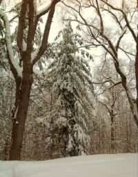 Our majestic evergreen burdened with snow.