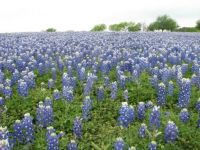 Bluebonnets at Turkey Bend