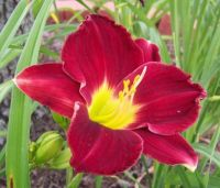 Big Apple daylily