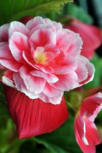 Double Camellia Begonia