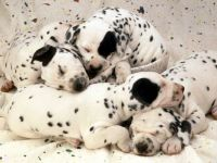 Adorable Dalmation Puppies