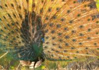 Javan Green Peafowl in Baluran National Park