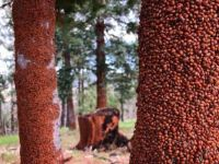 This is what you call a real infestation of Lady Bugs!