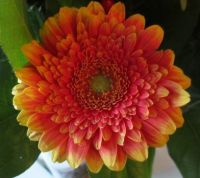 Gerbera (close up)