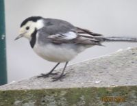 Pied Wagtail deep in thought.