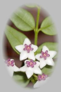 hoya plant