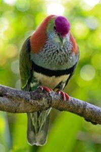 Multi-colored Pigeon