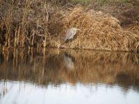 Christmas heron