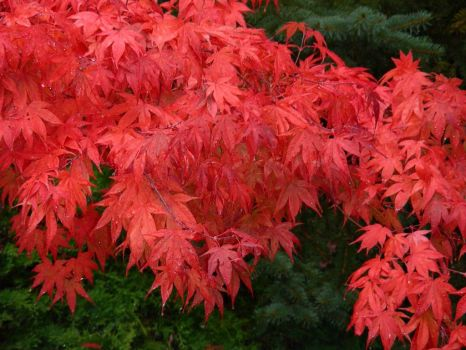 Japanese Red Maple in fall