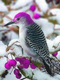 Purple-Headed Woodpecker