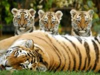 tiger mother and three cubs