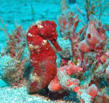 Sea Horse, St. Vincent and the Grenadines