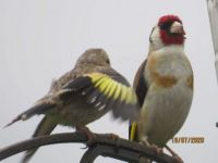 Persistent young Goldfinch and a grumpy parent