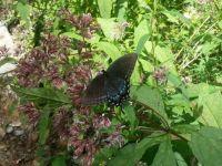 Shenandoah Butterfly