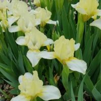 Miniature Dwarf Bearded Iris 'Lemon Puff '