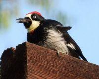 Acorn Woodpecker, North Shore 3 Trail, San Diego, California