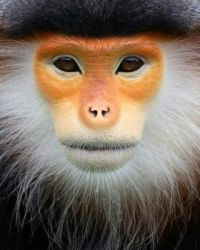 *3  ~  'Portret of a Red Douc monkey'  (1/2)