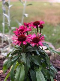 Coneflower in Tennessee