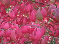 Burning Bush in the Fall