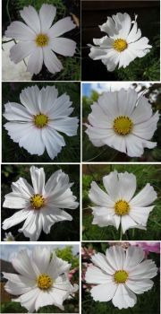 Cosmos or Cosmea Collage # 4