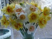 Late daffodils from local fields