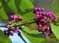 Japanese beautyberries (callicarpabessen)