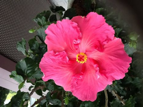 A lovely pink Hibiscus 2