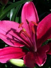 maroon lily--medium