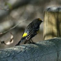 Yellow-rumped Warbler, Horse Park Trail, Del Mar, California