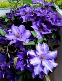 "clematis ""president"""
