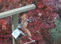 Jay on our feeder