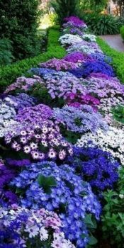 Cineraria in all its glory