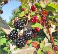 Blackberry  Ostružina