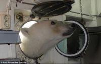 Curious Polar Bear Part 2