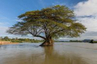 Flooded_Albizia_Saman_(rain_tree)_in_the_Mekong