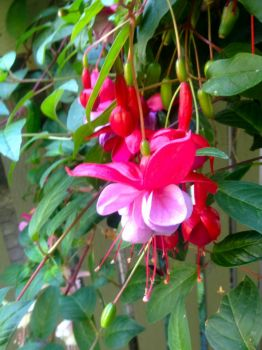 Pretty Fuschias