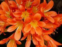 2  ~  Orange Clivia.